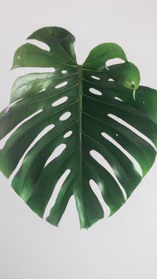 Leaf wallpapers